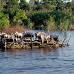 Annual flooding often requires placing floodplain livestock on raised platforms where they remain if not transferred to uplands until river level subsides.