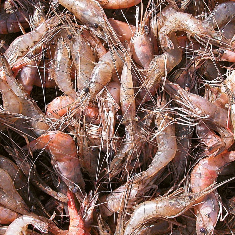 Shrimp (Macrobrachium amazonicum) from freshwaters of the estuary.